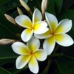 magnoliya-1152